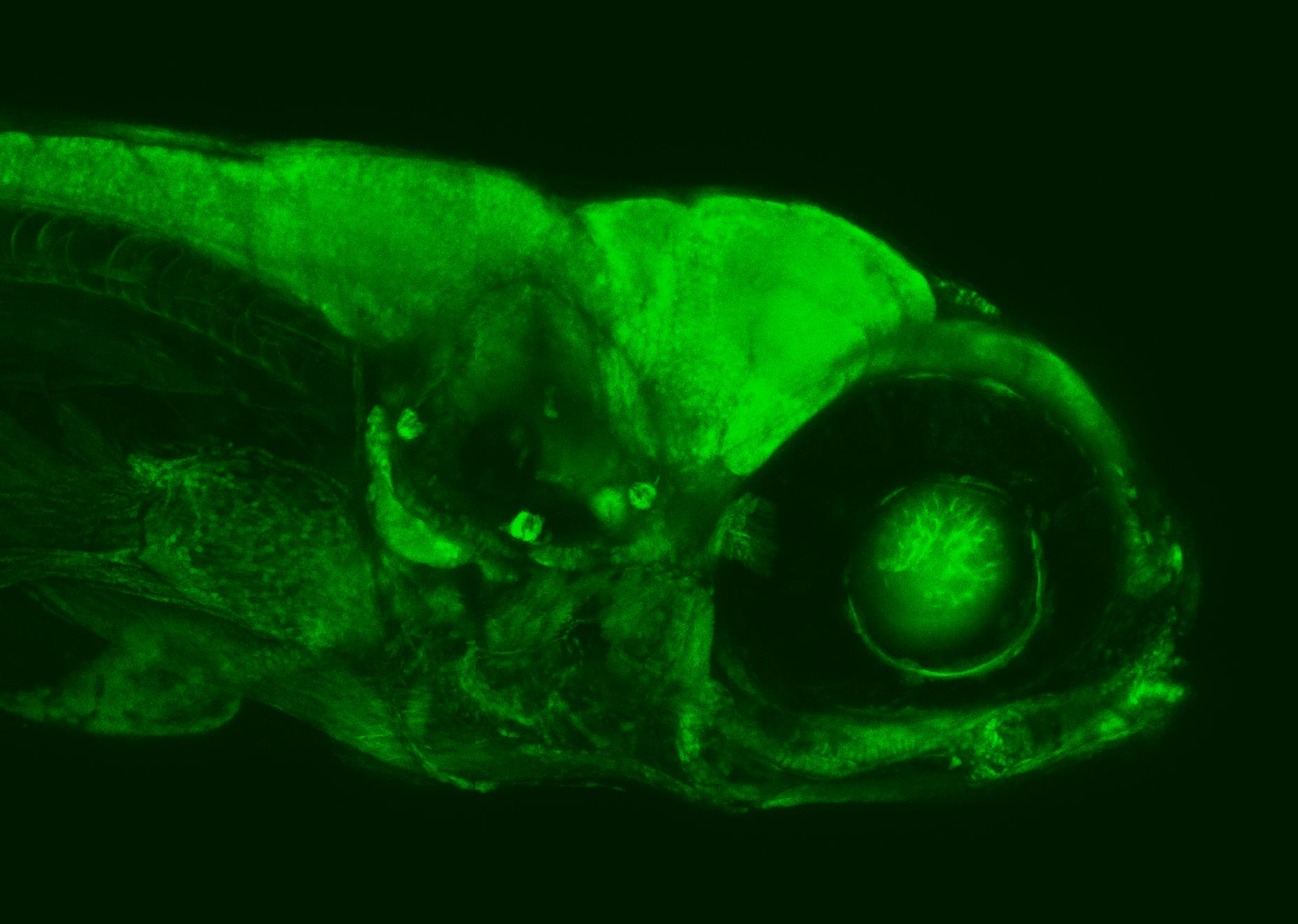 6 day old zebrafish larva under the confocal microscope. Image: Aristides Arrenberg