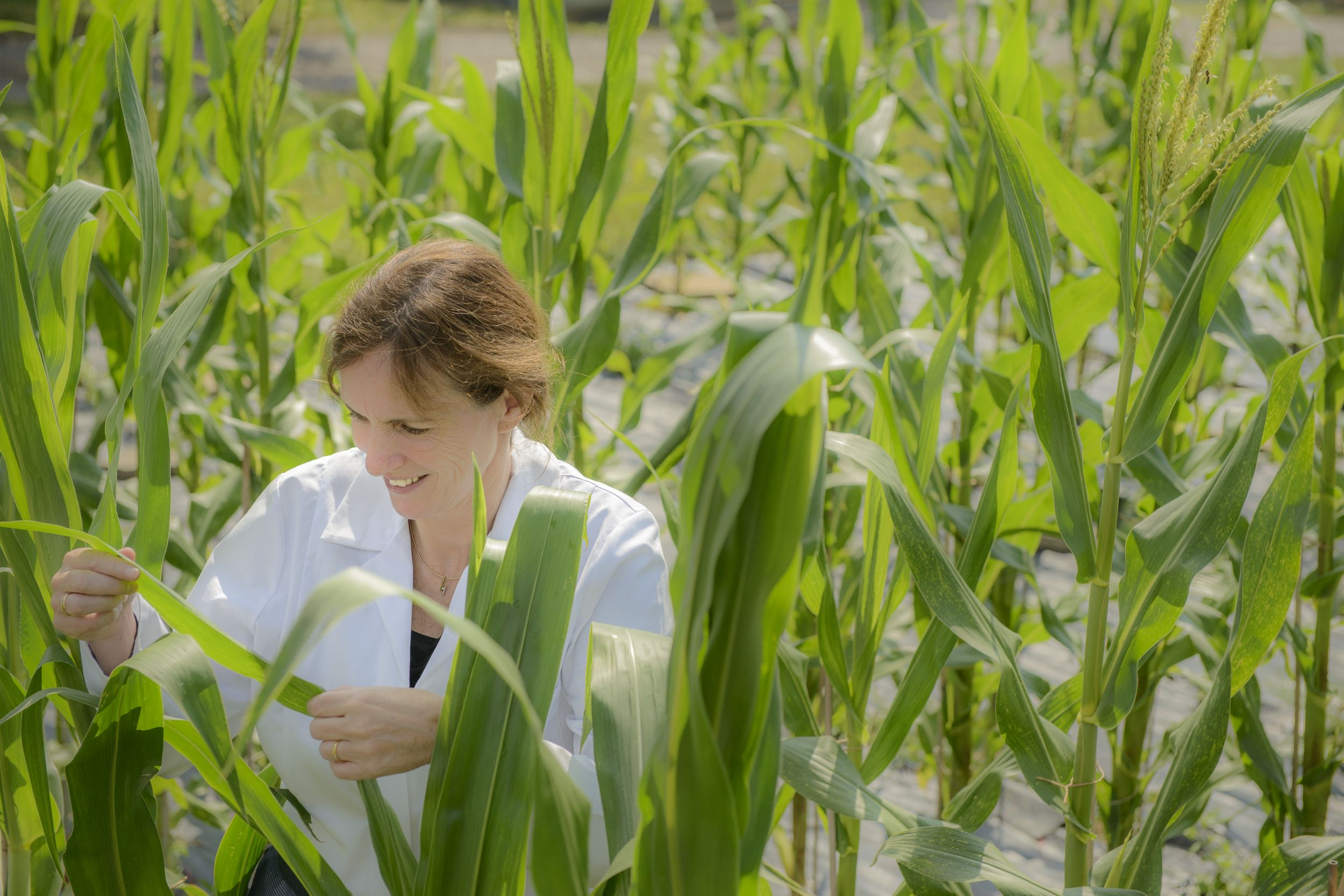 Researcher investigating a maize leave in a test corn field