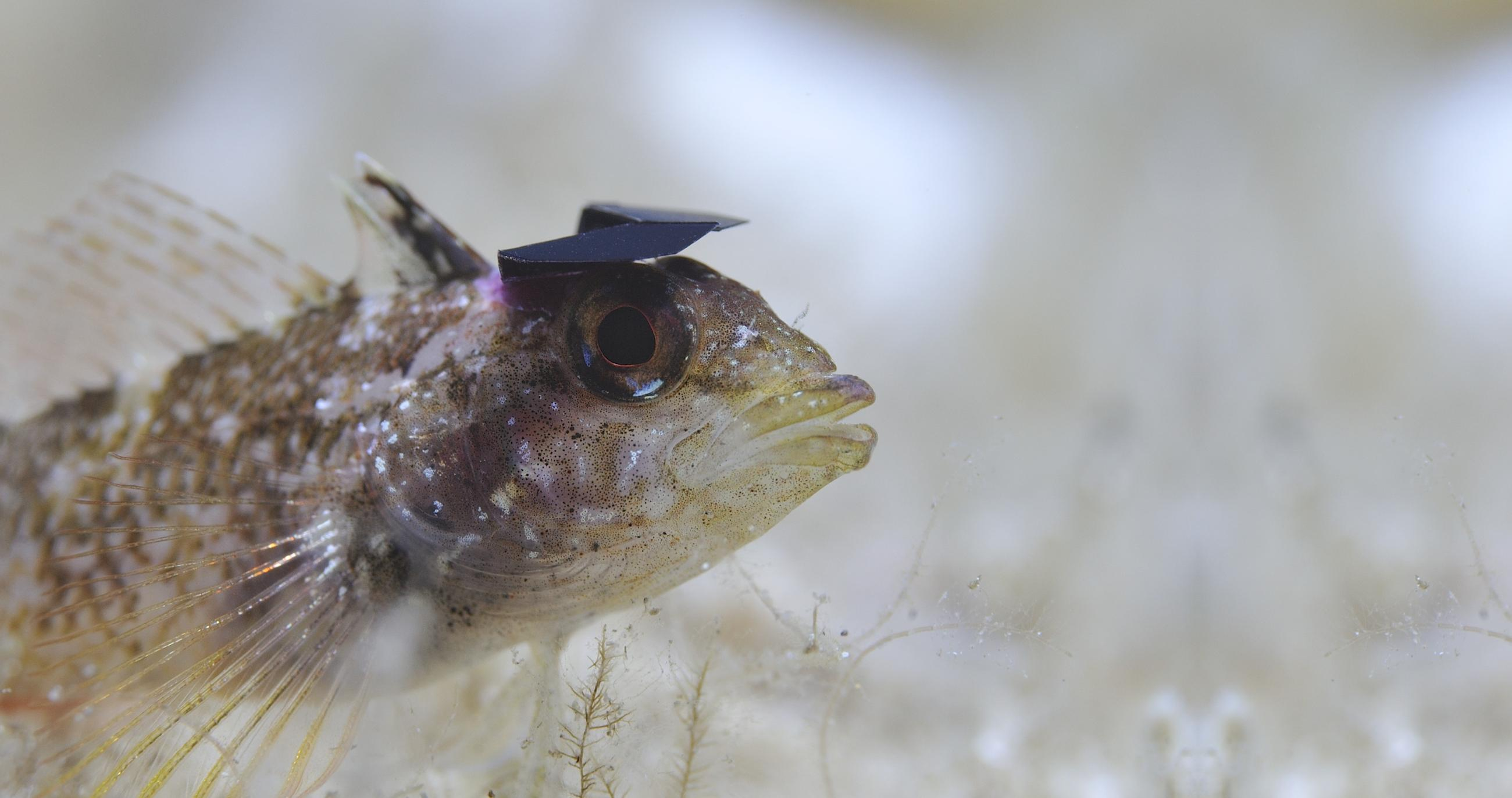 Yellow Black-faced Triplefin