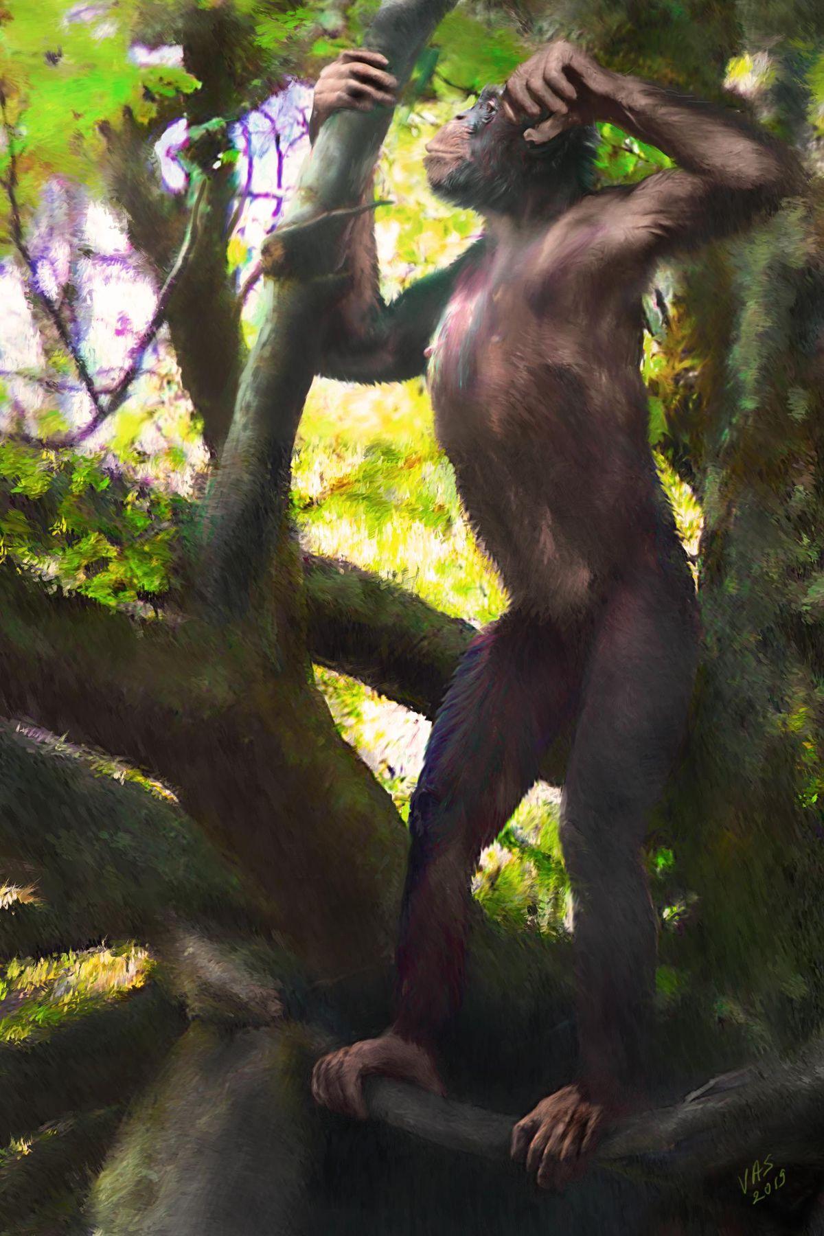 Künstlerische Rekonstruktion eines männlichen Danuvius guggenmosi